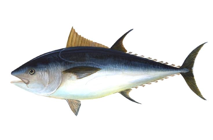 Atún vermello / atún rojo / bluefin tuna / Thunnus tynnus