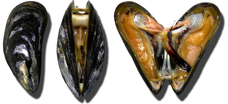 Fonte: https://ar.wikipedia.org/wiki/%D9%85%D9%84%D9%81:Moules_Miesmuscheln_mussel.jpg