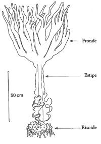 Esporófito dunha Saccorrhiza polyschides